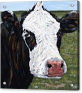 Mohawk Cow Acrylic Print