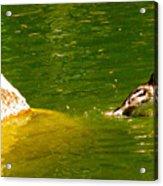 Mohawk Duck Acrylic Print