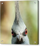 Mohican Bird Acrylic Print