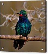 Molting Hummingbird Acrylic Print