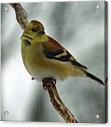 Molting In January? - American Goldfinch Acrylic Print