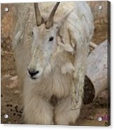 Molting Mountain Goat Acrylic Print