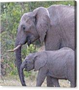 Mom And Baby Elephant Acrylic Print