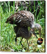 Mom And Baby Limpkin Acrylic Print