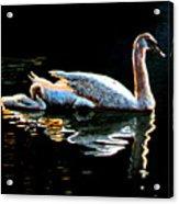 Mom And Baby Swan Acrylic Print