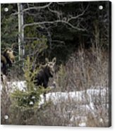 Mom And Calf  In The Forest Acrylic Print
