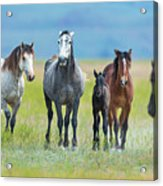 Mom, Dad, And Two Colts Acrylic Print