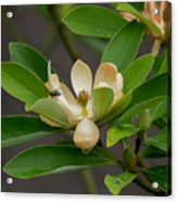 Moments On The Magnolia Acrylic Print