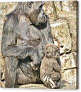 Momma And Baby Gorilla Acrylic Print