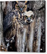 Momma And Baby Owl Acrylic Print