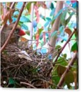 Momma Cardinal Nesting Acrylic Print