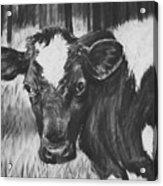 Momma Cow Acrylic Print