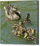 Momma Duck With Babies Acrylic Print