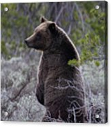 Momma Grizzly And Cubs Acrylic Print