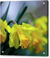 Mom's Daffs Acrylic Print