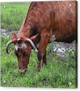 Mona The Cow Acrylic Print