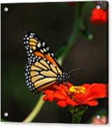 Monarch 6 Acrylic Print