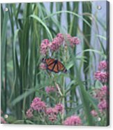 Monarch And Pink Acrylic Print