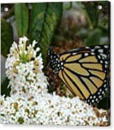 Monarch And The Butterfly Bush  Acrylic Print