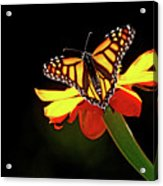 Monarch And Tithonia Light And Shadow Acrylic Print