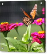 Monarch Approaching Zinnia Acrylic Print