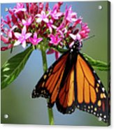 Monarch Beauty Acrylic Print