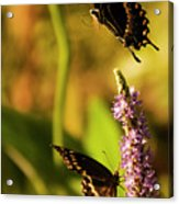 Monarch Butterflies In Spring At Wakulla Springs Acrylic Print