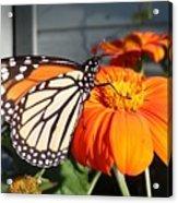 Monarch Butterfly 2 Acrylic Print