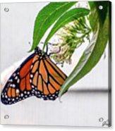 Monarch Butterfly In The Garden 3 Acrylic Print