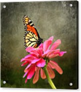 Monarch Butterfly And Pink Zinnia Acrylic Print