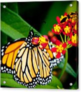 Monarch Butterfly At Lunch With 2 Box Elder Bugs Acrylic Print