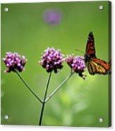 Monarch Butterfly Balanced 2017 Acrylic Print