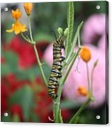Monarch Butterfly Caterpillar Acrylic Print