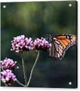 Monarch Butterfly IIi Acrylic Print