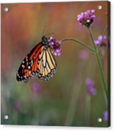 Monarch Butterfly In Autumn 2011 Acrylic Print