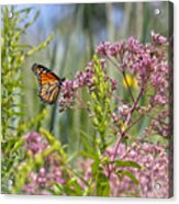 Monarch Butterfly In Joe Pye Weed Acrylic Print
