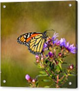 Monarch Butterfly In The Afternoon Sun Acrylic Print
