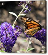 Monarch Butterfly Acrylic Print