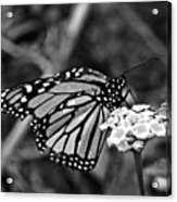 Monarch Butterfly. Acrylic Print