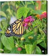 Monarch Butterfly On A Flower  Acrylic Print