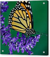 Monarch Butterfly On Flower Blossom Acrylic Print