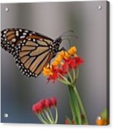 Monarch Butterfly On Milkweed Acrylic Print