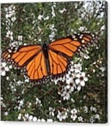 Monarch Butterfly On New Zealand Teatree Bush Acrylic Print