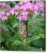 Monarch Butterfly On Pink Flowers  Acrylic Print