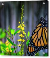 Monarch Butterfly Poised On Green Stem Among Yellow Flowers Acrylic Print