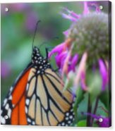 Monarch Butterfly Posing Acrylic Print