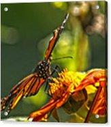 Monarch Butterfly Acrylic Print