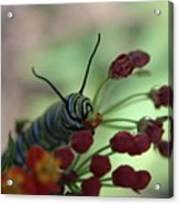 Monarch Caterpillar Acrylic Print