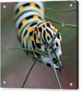 Monarch Caterpillar Clutches Dill In Pincers, Macro Acrylic Print