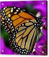 Monarch Dreams Acrylic Print